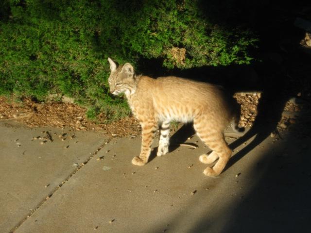 052912 Bobcats
